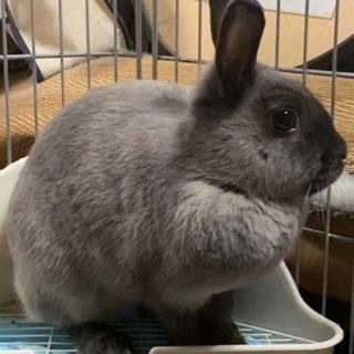 可愛い女の子ウサギの里親さん募集