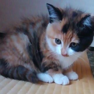 2ヶ月のメス子猫です。 - 茂原市