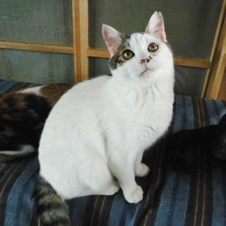 ブサ可愛い兄と超美形の妹★兄妹一緒に 生後8ヶ月前後 - 猫