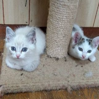 生後1ヶ月半 可愛い兄妹猫♥️美人シャム系と癒しキジシロ