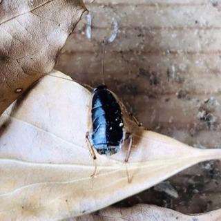 ☆レア☆東京産ワイルド☆モリチャバネゴキブリ幼虫50個体