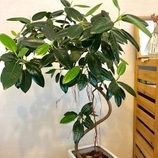 観葉植物 フランスゴムの木