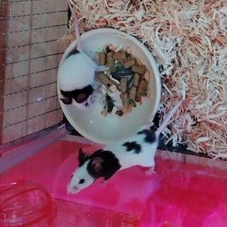 里親決まりました!パンダマウス♀二匹 2ヶ月