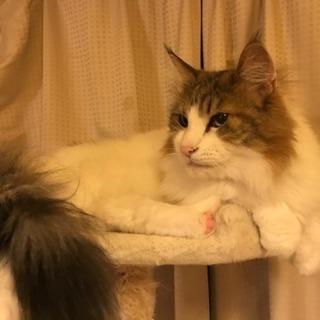 ノルウェージャンフォレストキャット のるる - 猫
