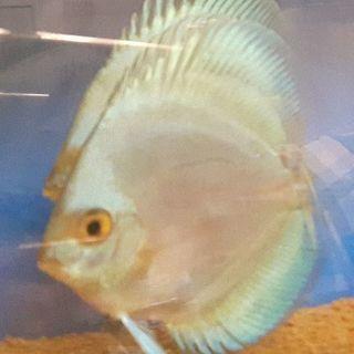 ブルーダイヤモンドディスカス 魚 熱帯魚 水槽