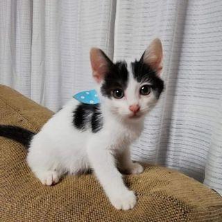 6月2日(日)の猫の譲渡会に出します❤️黒白男の子生後2ヶ月 琉球...