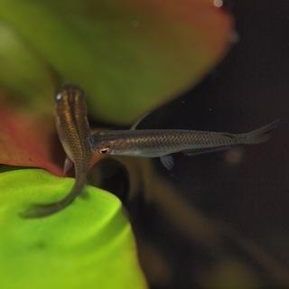 黒メダカの稚魚 5ひき