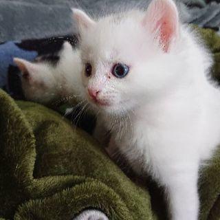 1ヶ月の子猫 男の子2匹