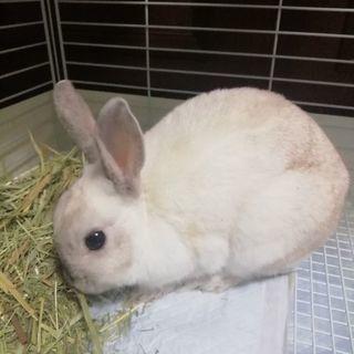 白くて元気なミニウサギの女の子