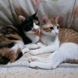 一部屋飼限定猫★至急