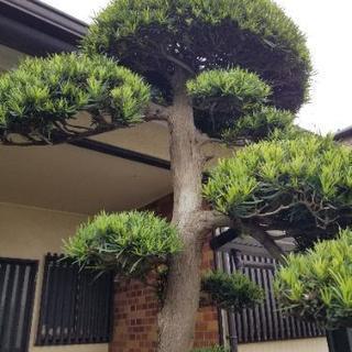 松の木 庭木 金木犀