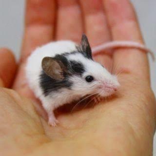 パンダマウスいます‼️300円でいかがですか❗️女の子だけです💦6匹