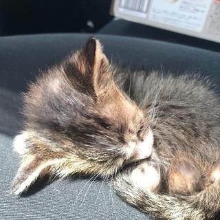 生後1ヶ月半頃の子猫