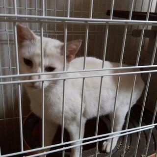 白っぽい成猫さん 女の子