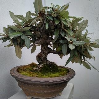 観葉植物 寒グミの鉢植え(鉢径38センチ)盆栽 コケ 植木鉢