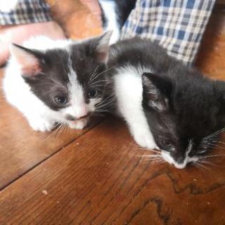 【商談中】生後一ヶ月、猫ちゃん4匹の里親探してます。