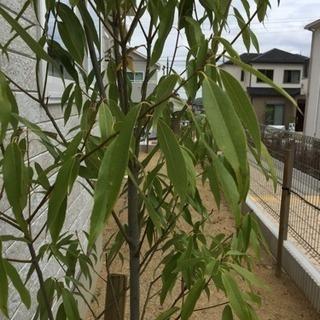 シラカシ 約2.0m〜2.2m生垣用 苗木 植木 苗 庭木 生け垣