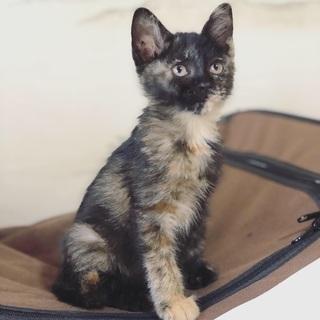 美人で賢いサビ猫です。 − 長崎県