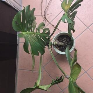 ●観葉植物●モンステラ●高さ約60㎝●