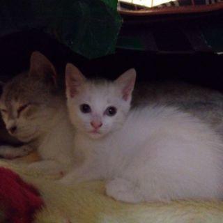 白の子猫さん