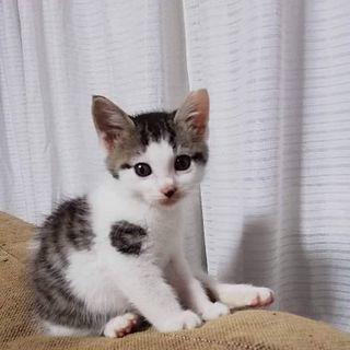 6月2日(日)の猫の譲渡会に出します❤️キジシロ男の子生後2ヶ月...