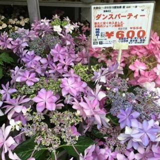 人気紫陽花ダンスパーティー600円