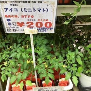 ミニトマト、ゴーヤ等人気の野菜苗入荷致しました。