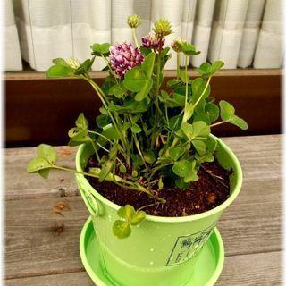 【植物】ELLEの可愛らしいブリキ缶に入ったカトレアクローバーT...