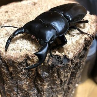 アンタエウスオオクワガタ 幼虫
