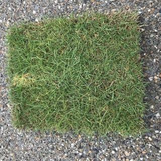 芝生 天然