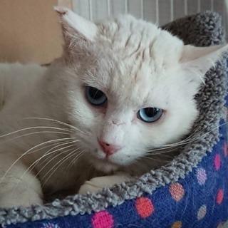 推定年齢3歳 真っ白なオス猫くん