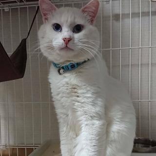 推定年齢3歳 真っ白なオス猫くん - 里親募集