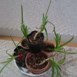 アロエ 苗 多肉植物