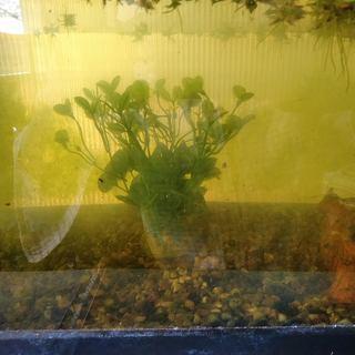 ミナミヌマエビの子供は受付一時休止します。 グリーンウォーター、水...