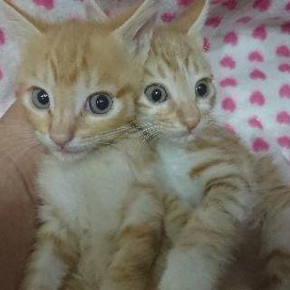 6月2日(日)の猫の譲渡会に出します❤️茶トラ・茶白生後2…