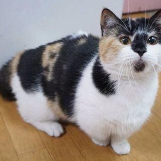 ブリーダー引退猫さん3歳短足マンチカン
