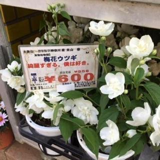 梅花うつぎ600円