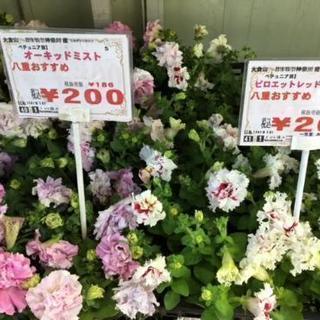 八重咲きペチュニア200円