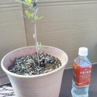 オリーブの木③【1年生単品】