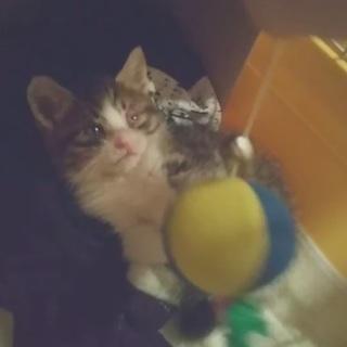 子猫を保護しました(生後1か月強・おてんば)