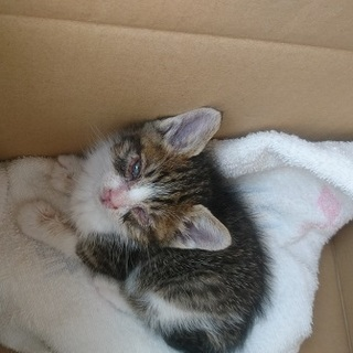 子猫を保護しました(生後1か月強・おてんば) - 佐世保市
