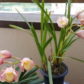 シンビジウムの鉢植え、300円でお譲りします。現在、開花中