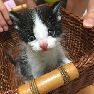 子猫(問い合わせ多数のため一旦募集中止)