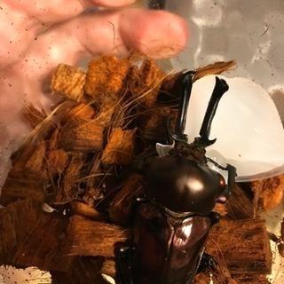 ニジイロクワガタ幼虫5頭セット(ブラックとレッド血統)
