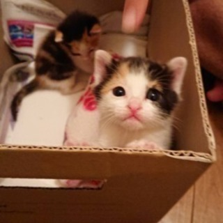 愛らしい子猫(三毛)の姉妹