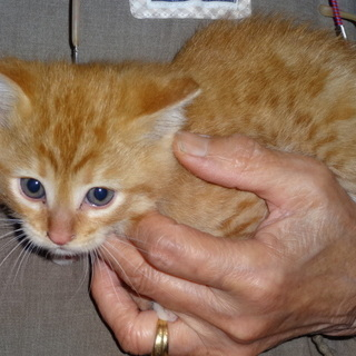 5回目です。半野良猫の1ヶ月位メスの子猫 飼い主不在確認済み