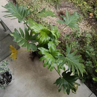 (受け渡し予定連絡中)フィロデンドロン セローム 鉢植え 苗