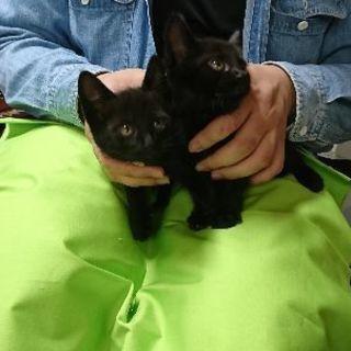 6月2日(日)の猫の譲渡会に出します❤️黒猫生後2ヶ月 男の子女の...