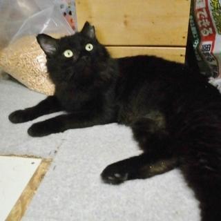 ゴミを漁っていた元飼い猫★今度こそ幸せに 黒毛(和牛)♂  推定5歳前後 - 熊谷市