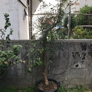 ◇ゲッキツ(月橘)植物 ※限定者のみ1000円🍀